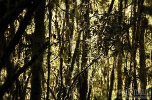 Nový Zéland, les