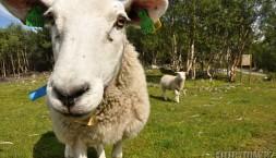 Norská ovce