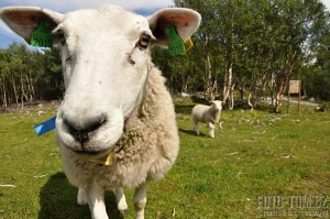 Norsko, ovce