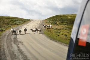 Norsko, ovce na silnici