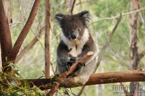 Austrálie, Tasmánie - koala kouká