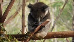 Austrálie, Tasmánie - koala spinká
