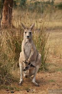 Austrálie, Tasmánie - klokanice s mládětem v kapse