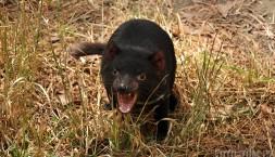 Mládě tasmanského čerta