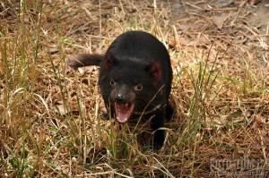 Mládě tasmanského čerta - tasmanian devil