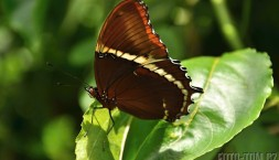 Motýl Guatemalský
