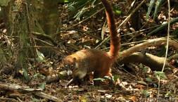 Medvítkovitá šelma Nosál červený (Nasua nasua)