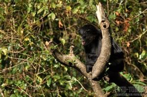 Spider monkey, Guatemala