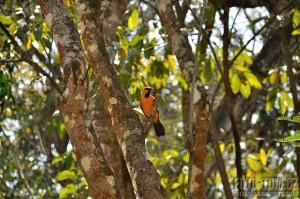 Pták Altamira, Máyské ruiny Copán, Honduras