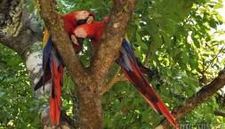Zamilovaní papoušci Ara Macao - Scarlet, Májské ruiny v Copánu