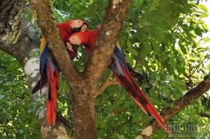 Zamilovaní papoušci Ara Macao - Scarlet - Copan, Honduras