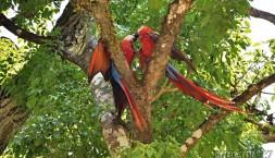 Papoušci Ara Macao, Copan