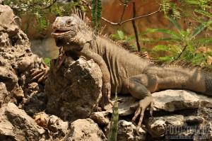 Leguán ještěr Mexiko