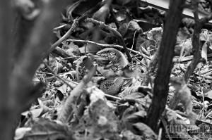 Černobílá ještěrka, Mexiko