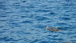 Mořská želva, Tichý oceán