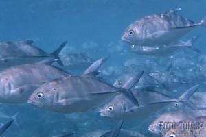 Hejno ryb - korálový útes Bar reef