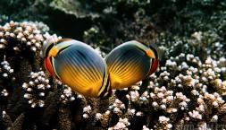 Zamilovaný rybí páreček