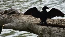 Pták provokuje líného varana