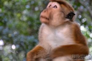 Opice jako plyšová