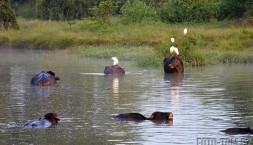 Ranní buvolí koupel v jezeře