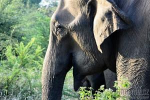 Detail sloní hlavy