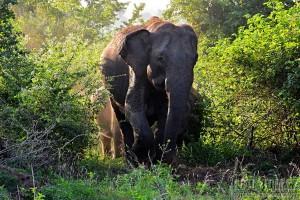 Sloni v protisvětle