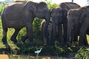 Uda Walawe sloní rodinka