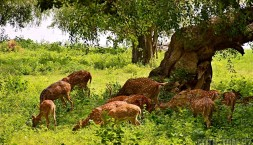 Srí Lanské srnky v parku Uda Walawe