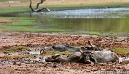 Buvoli v parku Uda Walawe si dávají pohodičku v bahně