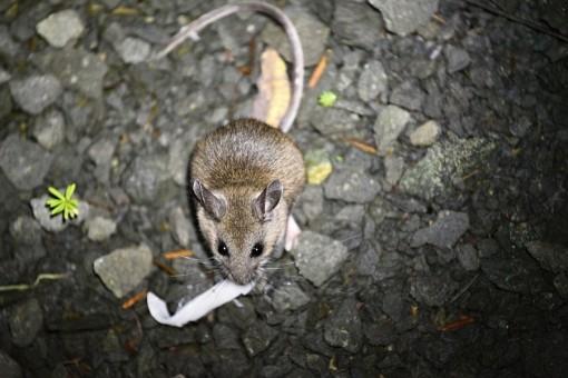 """31/365 Ve středu jsme se rozhodli zajet podívat na naše spací místo s medvědíma návštěvama (tohle: http://wctips.net/cs/item/wildcamp-alexander-falls-whistler/). A jediná """"wild life"""" co jsme viděli byla tahle myš ještě s kámoškou, co nás navštívily při večeři. Byly drzý, ale pekelně rychlý, takže se mi jí nepovedlo ani moc vyfotit. Tahle si akorát pochutnává na návnadě - těstovina."""