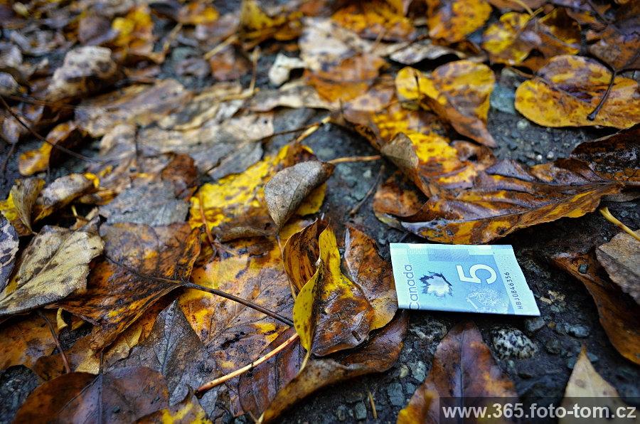 56/365 Podzim v Kanadě mě baví! Není listí jako listí,ale tohle modrý mi dnes udělalo radost, když jsem šel z parkoviště. To vědět, odklízel bych tu listí klidně na full time i s přesčasama i o víkendech. Pokud bych našel aspoň 4 modrý listy do hodiny, ani by mě nikdo jinej nemusel platit. Ale vzhledem k tomu, že během následující hodiny jsem ještě našel jen 25 centů, zas tak obvykle tu tohle modrý na stromech asi neroste.